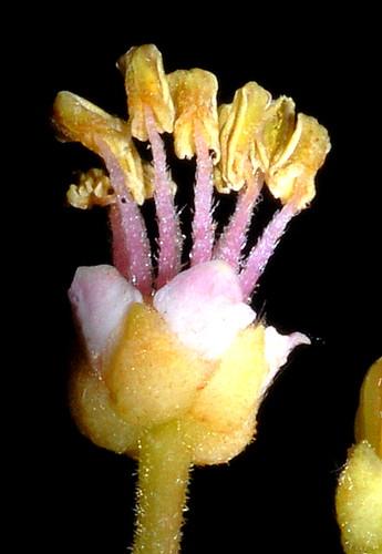 Jagera pseudorhus Cattana DSC_0050