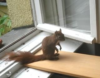 Eichhörnchen zähmen 10