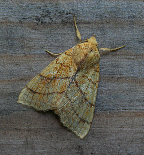 Orange Sallow Xanthia citrago Tophill Low NR, East Yorkshire September 2013
