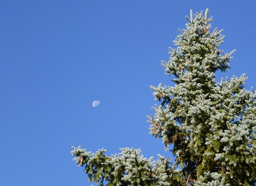 Blue spruce & moon