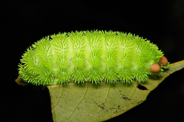 "Stinging Nettle Slug Caterpillar (Cup Moth, Limacodidae) ""Pin Cushion"""