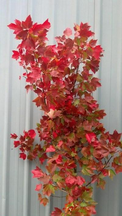 fall red foliage