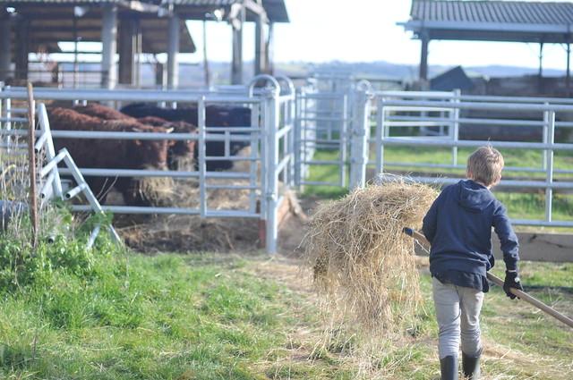 Otto feeding bulls