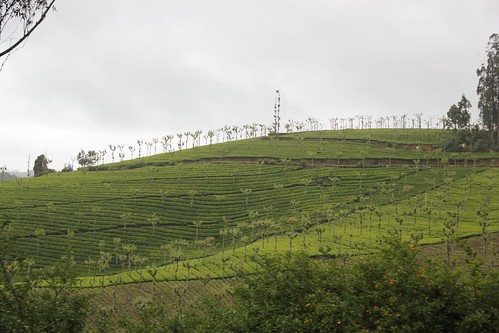 Tea gardens from trian