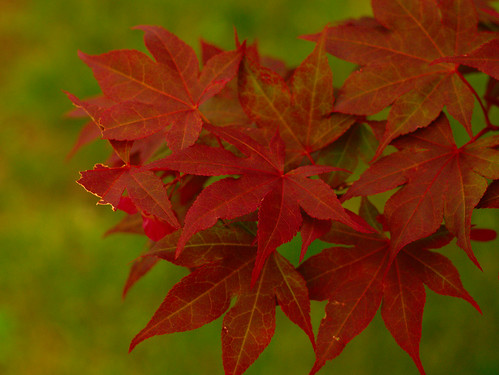 Red Maple by BGTwinDad