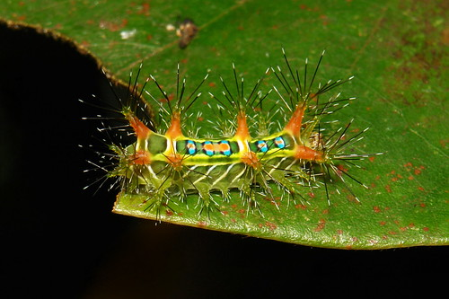 "Stinging Nettle Slug Caterpillar (Cup Moth, Limacodidae) ""Chequers"""