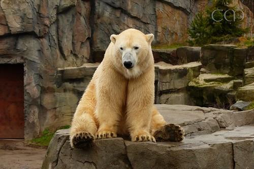 Now - some close-ups of Teddy bear Nanuq..:)