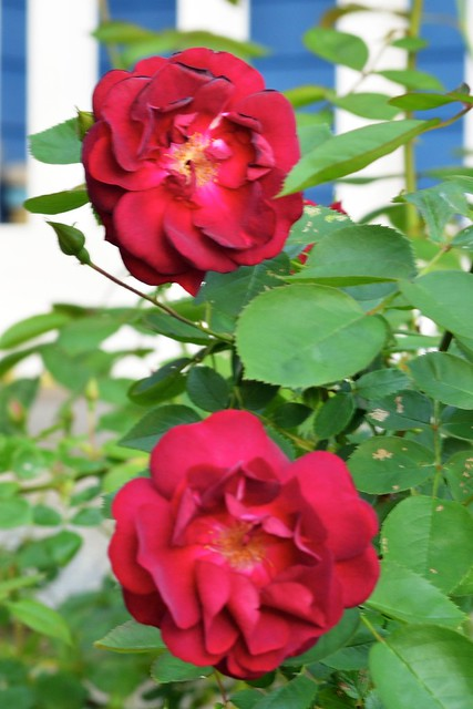 Two Roses 1