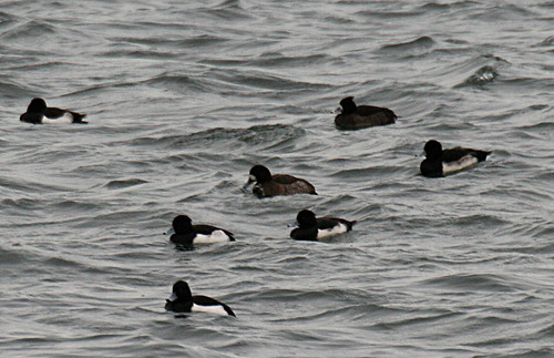 Scaup Aythya marila Tophill Low NR, East Yorkshire December 2013