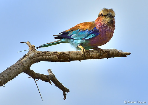 Lilac-breasted Roller by Martin_Heigan