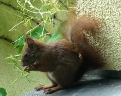Eichhörnchen 2.1