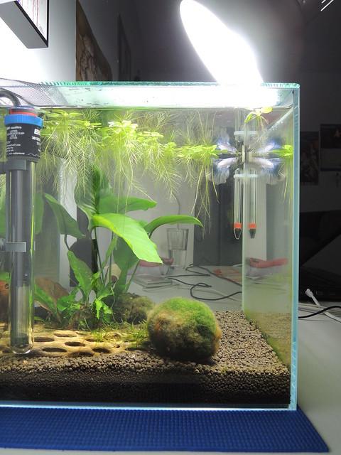 Amazon Frogbit Aquarium