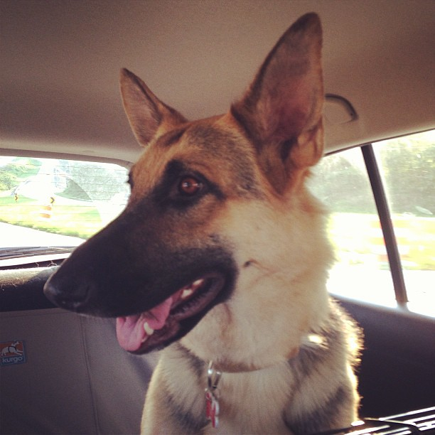 Such a good traveler. Ready to be home! #gsd #germanshepherd