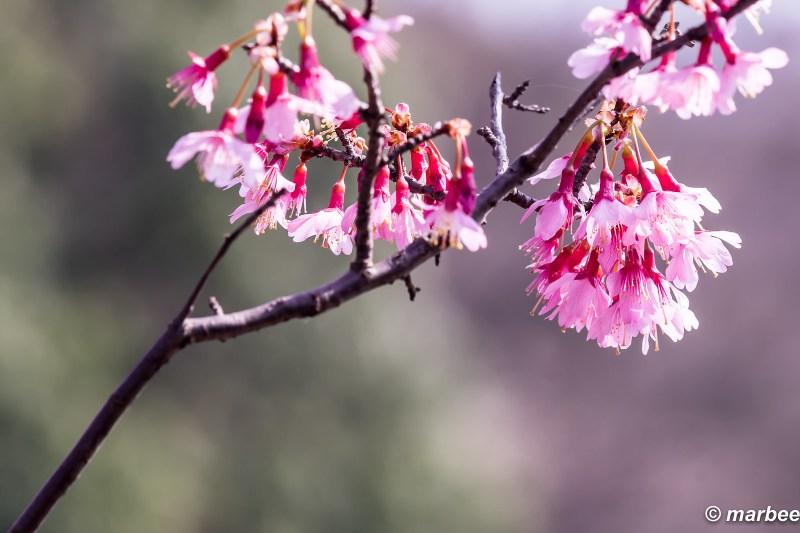Okame cherry tree