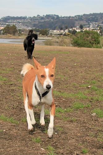 20140212 Poodle pursuit
