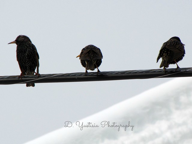 The Three Starlings