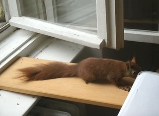 Eichhörnchen zähmen 14