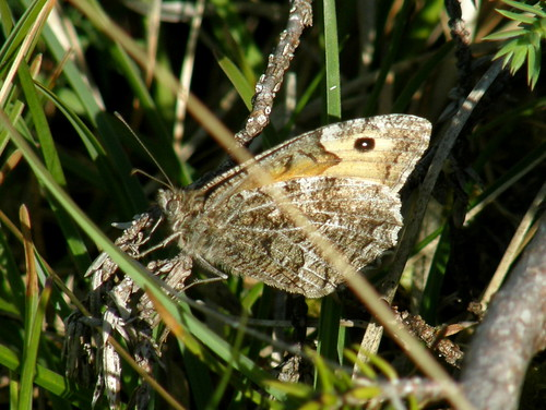 The grayling again