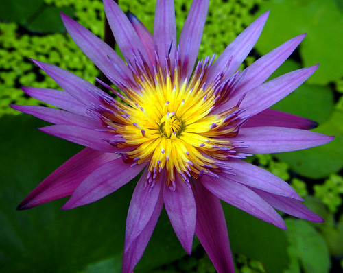 Purple Waterlily in Bangkok