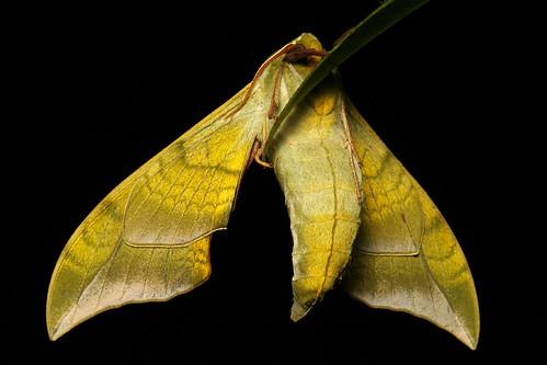 Hawk Moth (Callambulyx diehli, Smerinthinae, Sphingidae)