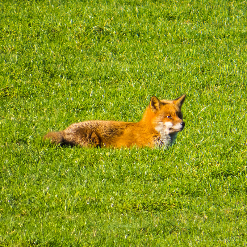 A fox takes it easy in the sun