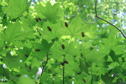Memorial Day 2013 - Cicada Shells and Sweet Gum Leaves