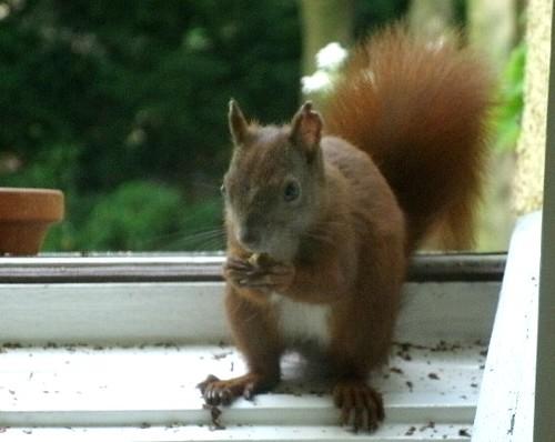 Eichhörnchen mit Nuss 2