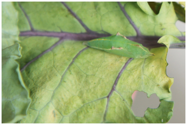 Butterfly Observation: Cabbage White chrysalis