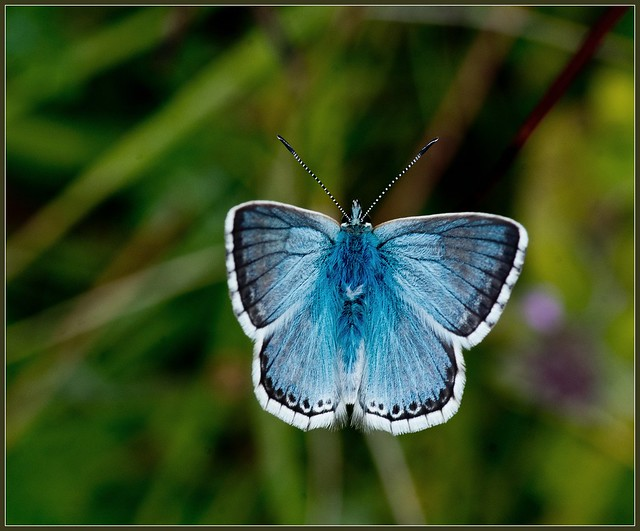 Chalkhill Blue 7