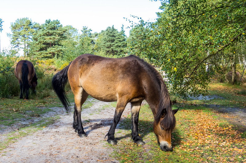Exmoor Ponies grazing on Upton Heath