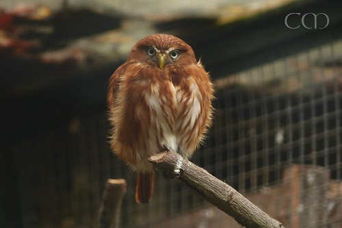 This tiny tiny owl is new at the Zoo!