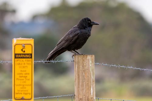 Australian Raven 2013-05-27 (_MG_1094)