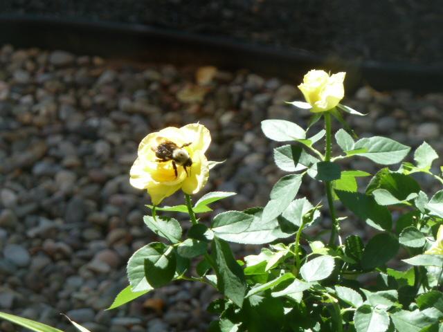 New rosebush brought a new neighbor