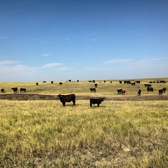A pasture full of #brangus 3yos and their calves! #happy #ranchlife #peaceful
