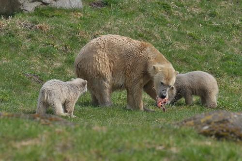 Eisbärin Ilka im Skandinavisk Dyrepark in Kolind