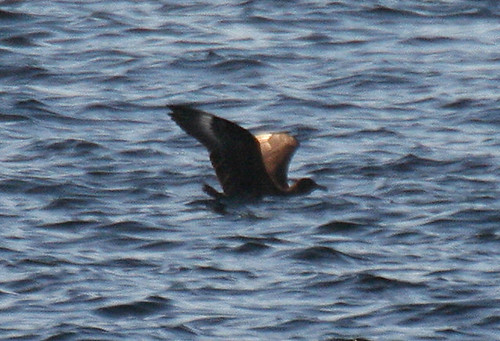 Great Skua Stercorarius skua Tophill Low NR, East Yorkshire September 2013