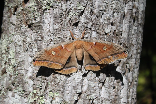 Camping at Prince William Forest Park - Carter's Pond - Moth on Tree (Close)