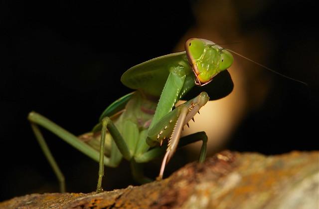 Hooded Mantis Nymph