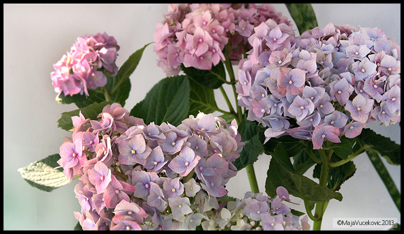 hortenzije 1