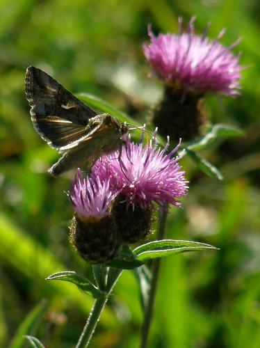 Silvery Y moth IV