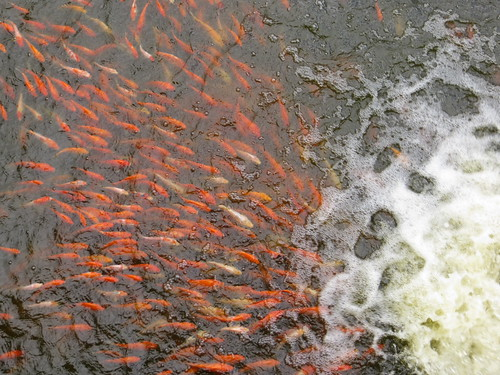 goldfish by the waterfall
