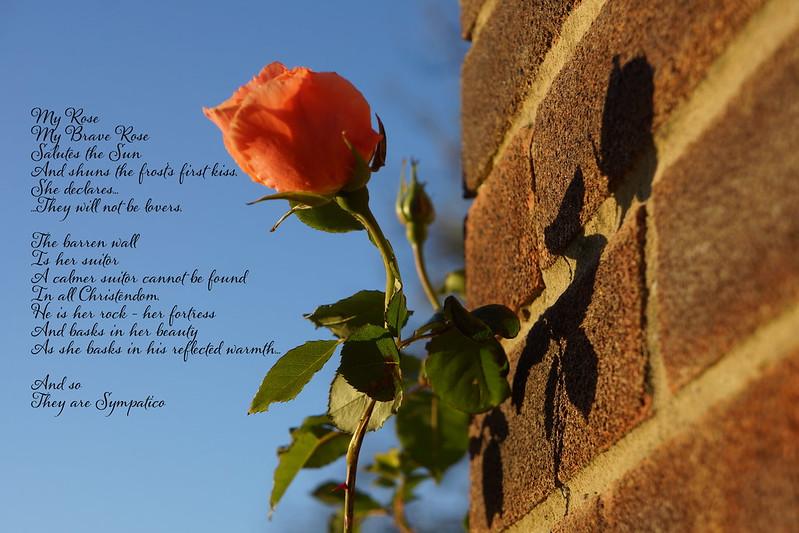 My Rose My Brave Rose