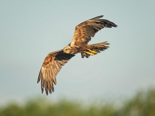 Marsh Harrier flight