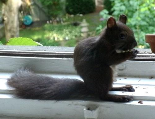 Schwarzes Eichhörnchen 1