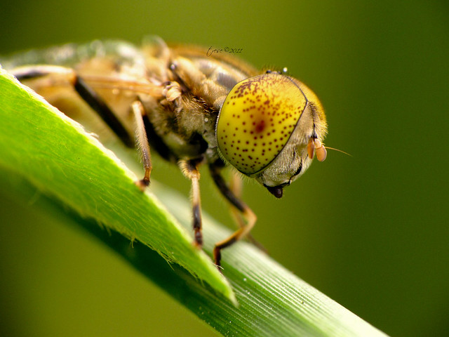 Yellow Eyed Fly Macro