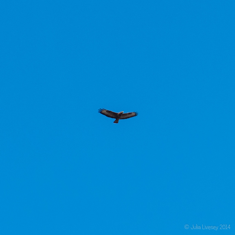 One of 3 buzzards over our house today