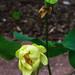 Lotus-Blüte II
