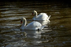 20140202_12_Coombe Country Park - Swans