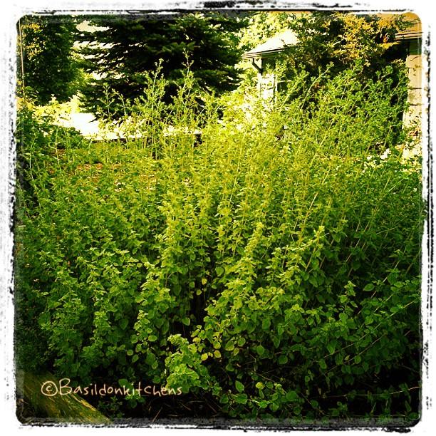 "July 20 - on the wild side {my run away oregano is a bit on ""the wild side""} #photoaday #oregano #garden #herbs #wild"