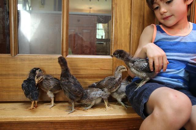 chick wrangling.....